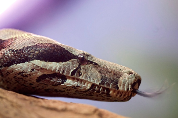 A red-tail boa constrictor is on exhibit at the Butantan Institute in Sao Paulo, Monday, Sept. 29, 2008. (AP / Andre Penner)