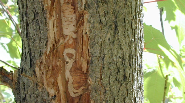 A tree damaged by the emerald ash borer beetle is seen in this image courtesy the Canadian Food Inspection Agency (CFIA).