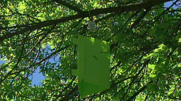 An insect trap being used to study the emerald ash borer beetle is seen in Kitchener, Ont. on Wednesday, June 2, 2011.