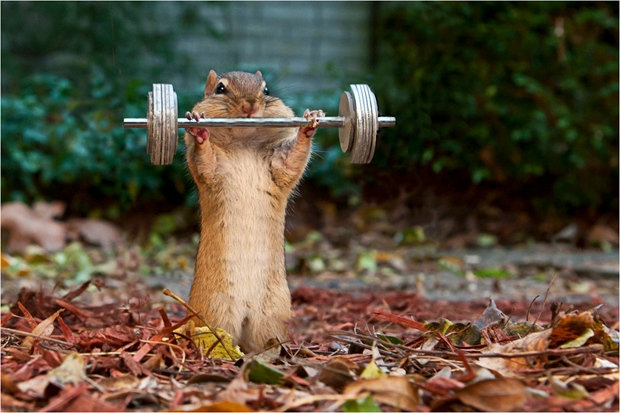 Chester pumps some iron in Tom Jeary's book The Chipmunk Fall Fair.