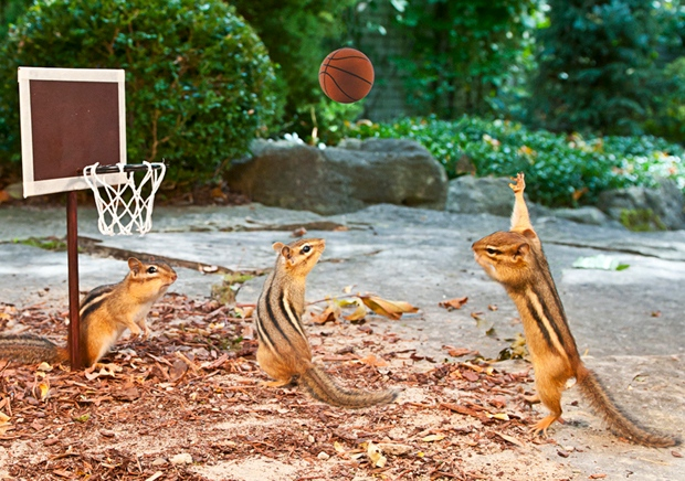 Chester shoots some hoops in Tom Jeary's book The Chipmunk Fall Fair.