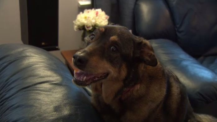 Lilly was inside her owners' pickup truck when it was stolen from a Cambridge Walmart parking lot.