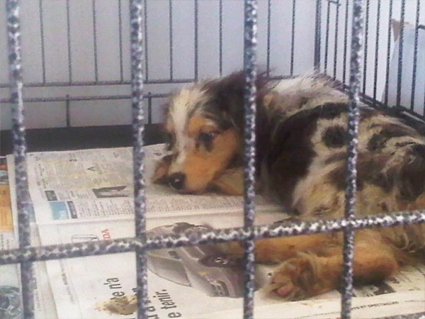 This puppy was one of 527 seized from a West Quebec kennel in 2011. (CTV)