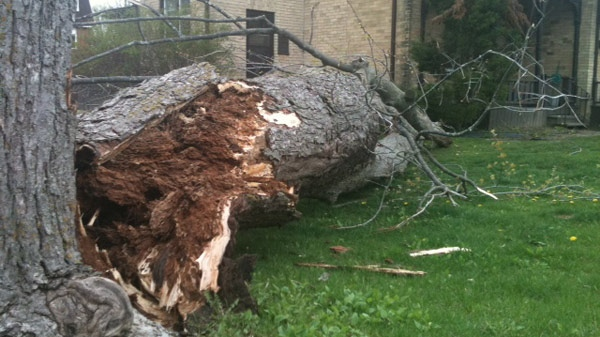 An old tree was knocked down by high winds on Union Street in Waterloo, Ont. on Monday, April 16, 2012. (Phil Molto / CTV News)