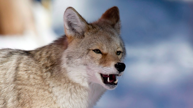 A coyote walks along the outside of a race course at Lake Louise, Alta., Thursday, Dec. 5, 2013. (Jonathan Hayward / THE CANADIAN PRESS)