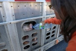 Animal rights activist Anita Krajnc gives water to a pig in a truck in a handout photo. (THE CANADIAN PRESS / Handout / Elli Garlin)