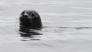 In this photo taken on Wednesday, Aug. 27, 2014, a Pacific harbor seal looks back during its release at the Auke Recreation Beach in Juneau, Alaska. (AP Photo/The Juneau Empire, Michael Penn)