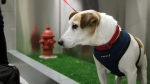John John visits the new pet relief area at New York's JFK airport before he and his owner Taylor Robbins head home on a flight to Atlanta on April 26, 2016.  (AP /William Mathis)