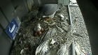 CTV Kitchener: Falcons start to hatch