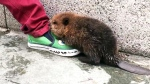 Extended: Baby beaver on the loose