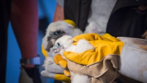 The peregrine falcon chicks nesting above CTV Kitchener were brought to ground level to be examined and banded on Tuesday, May 24, 2016. (Ryan Snider / CTV Kitchener)