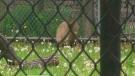 capybara, High Park Zoo