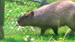 CTV Toronto: Capybaras still missing in High Park
