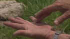 CTV Kitchener: Watch out for hogweed