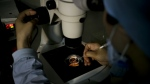 A medical staff member collects an egg on a laboratory dish during an infertility treatment through in vitro fertilization (IVF) for a patient at a hospital in Beijing on Sunday, April 24, 2016. (AP / Andy Wong)