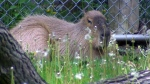 Canada AM: To catch a capybara