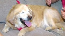 CTV Toronto: Blind therapy dog known for smiling