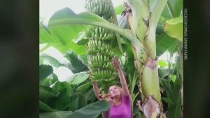 Bananas grow inside a hoop house at Canada Banana Farms in Blyth, Ont.