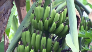 Bananas grow at Terry Brake's farm near Blyth, Ont., on Friday, July 29, 2016.