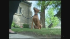 CTV Kitchener: Coyote sightings in Guelph