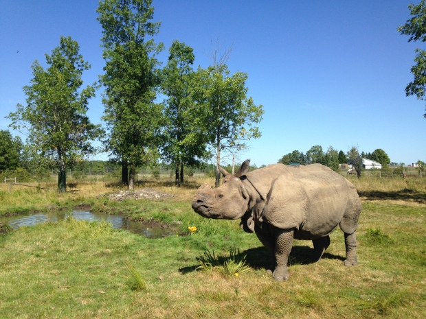 A rhinoceros is pictured at African Lion Safari on Monday, Aug. 8, 2016. During the summer months, rhinos like to wallow in mud and water because the water cools their skin and the mud keeps them protected from insects. (Dan Lauckner / CTV Kitchener)