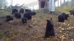 Facebook video from the Northern Lights Wildlife Centre shows its brood of bruins enjoying snack time. (Northern Lights Wildlife Centre)
