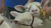 CTV Kitchener: Sheep handling in Floradale