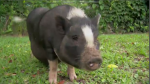 A one-hundred-pound pot bellied pig said to be a service animal