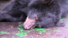 CTV Northern Ontario: Bears being relocated