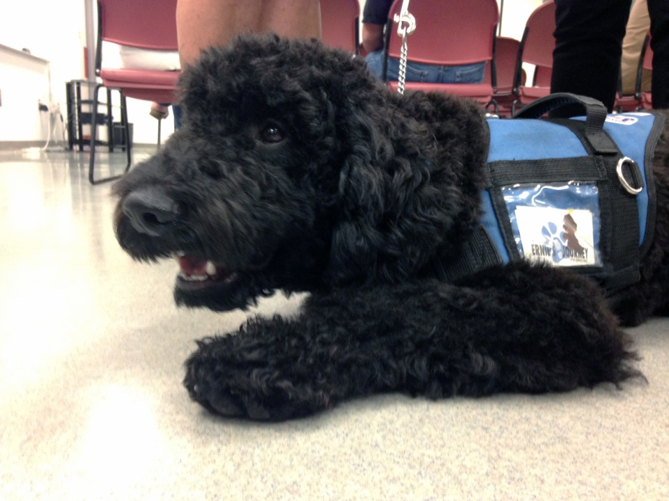 Trauma dog Eddie is seen at Brantford Police headquarters on Friday, Oct. 14, 2016. (Kevin Doerr / CTV Kitchener)
