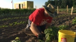 A man works in the community garden at Home Hardware in St. Jacobs. (Home Hardware)