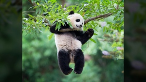 Panda cub Bao Bao hangs from a tree in her habitat at the National Zoo in Washington in Washington on Aug. 23, 2014. (Pablo Martinez Monsivais/AP)