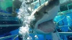 Extended: Great white shark breaches cage