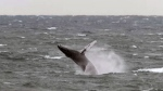 Whales spotted along Bay of Fundy shoreline