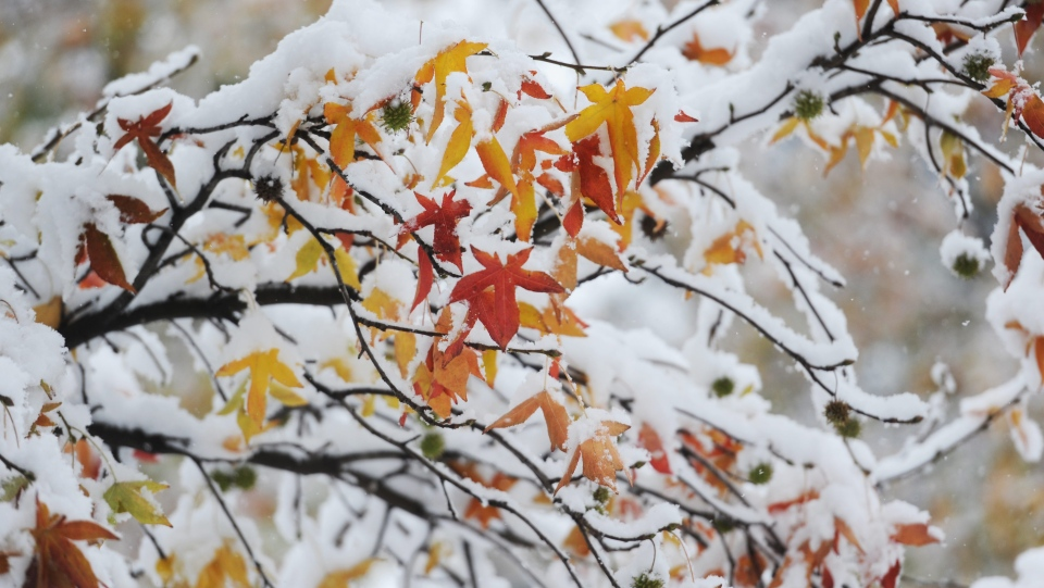 Snow on tree leaves