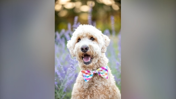 Molly the dog in a bow tie