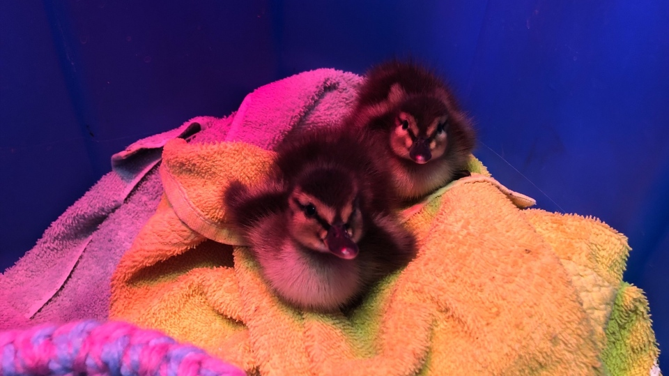 Baby raccoons, geese and chipmunks reunited with mothers ...