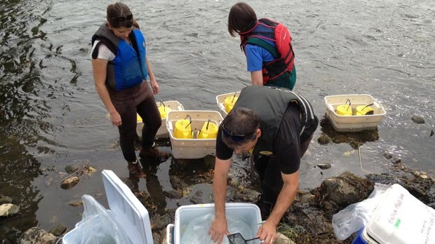 Fish are being put into the Grand River to test the impact of chemicals in the water on Friday, Oct. 5, 2012.